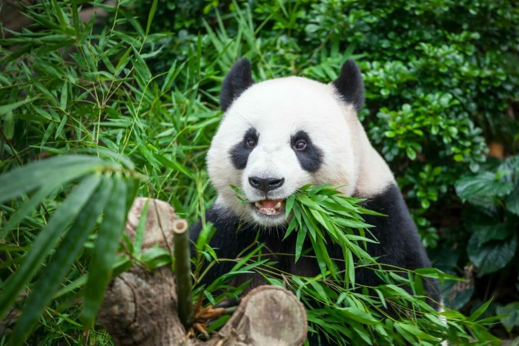 かつては金属を食べると言われていた「ジャイアントパンダ」