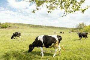 【大人の雑学】昔からヒトの身近な存在の「牛」にまつわる雑学