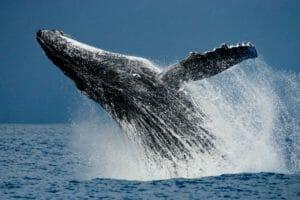 【大人の雑学】最大の生物「クジラ」にまつわる雑学
